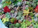 多肉植物セダムカット苗 いろいろ可愛い大量7