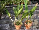 洋蘭原種 カトレア 2株一括24