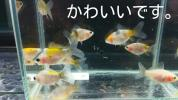 KS−CX5.寿恵廣錦(ブリストル朱文金)5月中旬孵化の10匹セット