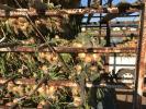 淡路島産 中生品種ターザン玉葱 10キロ Mサイズのご提供です!