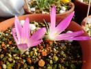 ★ 世界の小型球根植物 メレンデラ フィリフォリア ★山野草 サボテン 多肉植物 珍奇植物 人気