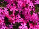 シバザクラ/ダニエルクッション ポット苗 25本セット 芝桜