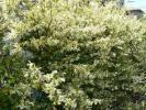 トキワマンサク 青葉・白花 ポット苗 樹高1.0m前後 常盤満作