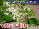 トキワマンサク 青葉・白花 樹高1.0m前後 10本セット(送料無料) 常盤満作