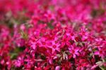 シバザクラ (芝桜) /スカーレットフレーム(ピンク系) ポット苗