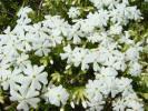 シバザクラ(芝桜)/カルビデスホワイト ポット苗