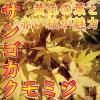 サンゴカク モミジ 樹高3.0m前後(樹高/根鉢含む) カエデ・紅葉 赤い枝が魅力【木曜日発送】