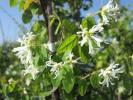 トキワマンサク(青葉・白花)樹高1.5m前後