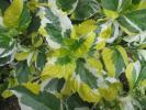 山野草☆斑入り植物【斑入り 三色斑アジサイ】