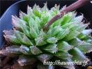 ◆ハオルチア種子◆エンゲリカ(ゴルドニアナ)H. engel