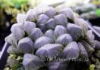 ◆ハオルチア種子◆大型紫オブツーサx特大型ブラックベルディア