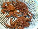 【数量限定】【訳あり】 【アウトレット】北海道産・活花咲蟹 3〜4尾