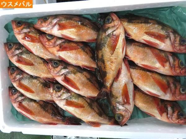 旬の魚 メバル  1kg  築地_画像2