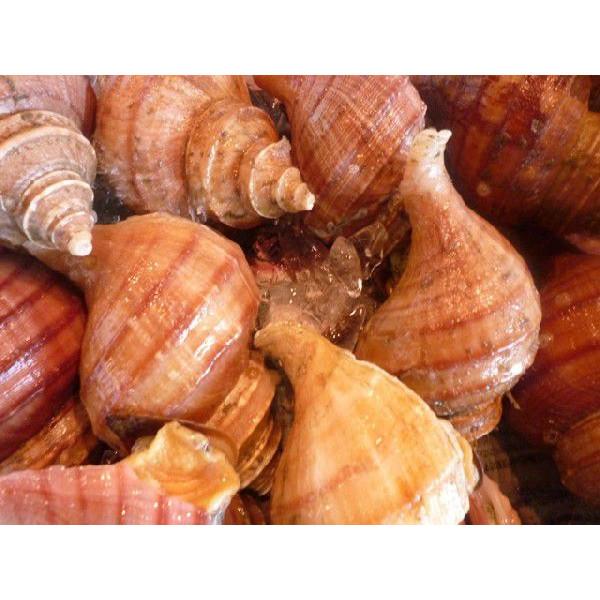 活磯ツブ貝 殻付き 約1kg つぶ貝 粒貝