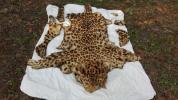 豹 ひょう ヒョウ柄 毛皮 敷き物 壁掛け はく製 骨とう品