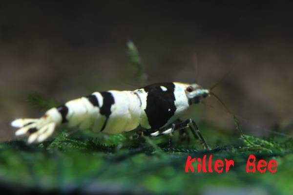 ★Killer Bee★真夏直前ラスト出品!黒ビー 黒脚 ♀個体 !!_画像3