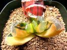 多肉植物 ハオルチア 玉扇錦