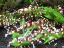 紅白のえびさん 暑中お見舞い出品 バンドマニア向け繁殖セットどーんと50匹です!