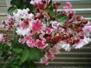 2881120☆サルスベリ(百日紅)☆夏祭り(ペパーミントレース)☆花の色に白が混じる紅花☆苗木☆15.5cmpot♪