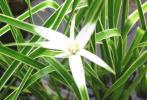 ビオトープ 覆輪葉 シラサギカヤツリ 十数本 開花中6本 白鷺蚊帳吊り ポット苗