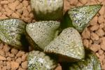 多肉植物 ハオルチア GM452選抜ナタリー