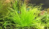 ◆1/fゆらぎを水槽に◆美しい!ブリクサショートリーフ 中株