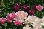■自家栽培 チューリップの球根がいっぱい! 4種類の混合 50個