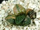 多肉植物 ハオルチア ベクター錦