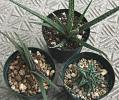 ●アロエ 小苗3種セット ベラチュラ、デスコインシー、カルカイロフィラ