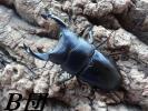 国産オオクワガタ 能勢YG血統 B団!種♂87.0mm(Gull様1422)  単♂83.2mm (異腹89mm)