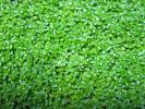 【送料込】【水草】キューバパールグラス 水上葉 大量10cm×10cm
