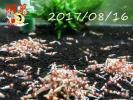 〝蝦蟇のえび〟レッドビーシュリンプ  20匹(6)