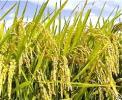 福井県の平成28年産 農家直送 減農薬栽培 コシヒカリ業務用玄米30kg