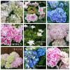 人気のアジサイ 幼苗 15品種から選べる4品種