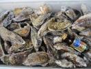 送料無料 無選別牡蠣10kg 宮城県松島産 殻付き牡蠣殻付き