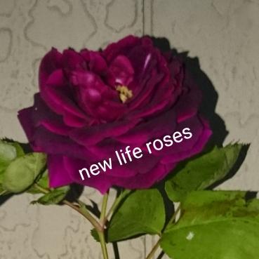 亡きプリンスに捧げる強香つるバラ【Purple Rain】140cm長尺_画像1