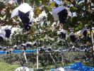 【家庭用】山梨牧丘産◇巨峰ぶどう≪小房≫種無し【3kg】10