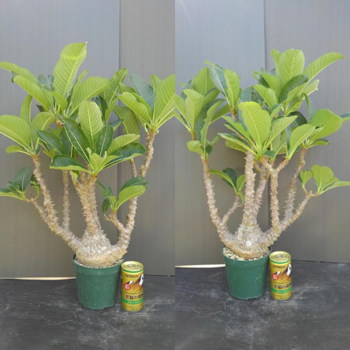 樹~8月34『パキポディウム・ウィンゾリー』13㎝鉢 特大 美種 特美株 h:約58㎝ オススメ
