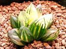多肉植物 ハオルチア オブツーサ錦 花水晶 極上斑