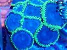 マメスナ/ボタン ブルー&レッドボタン2種セット