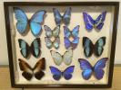 Science, Nature - 蝶 標本 高級 タツミ製 ドイツ箱 同梱可 6