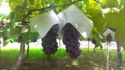 露地、種なしデラウエア2キロ箱ずめサイズ混合、落札後収穫、新