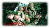 地元松茸、長野県産、極上特大つぼみ9月半ば採取次第順次発送致します。
