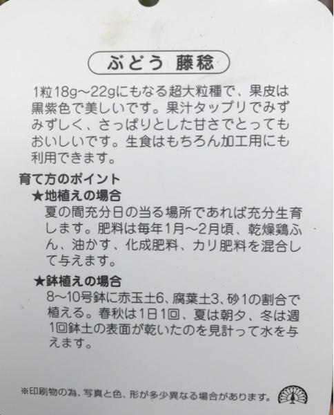 甘さ抜群 超大粒種ぶどう(藤稔)フジミノル苗木_画像2