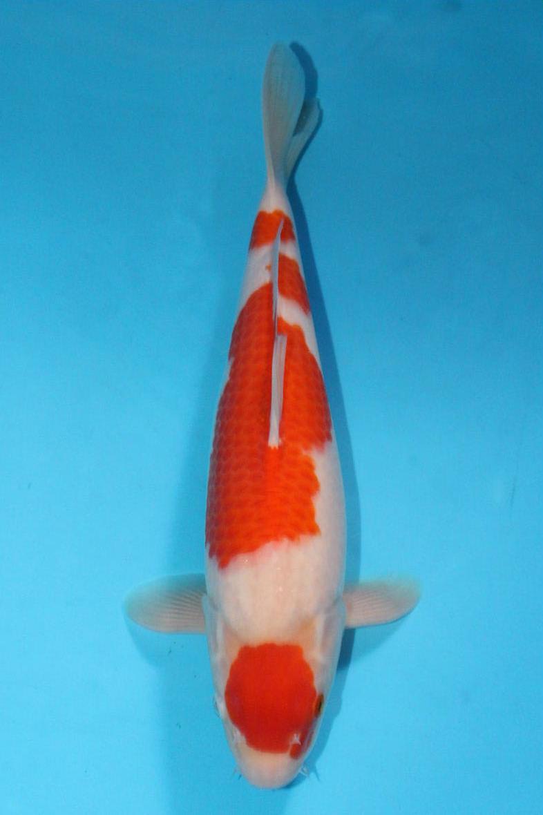 DIRECT鯉 近藤産 2歳 紅白 39cm(0914-お-13)
