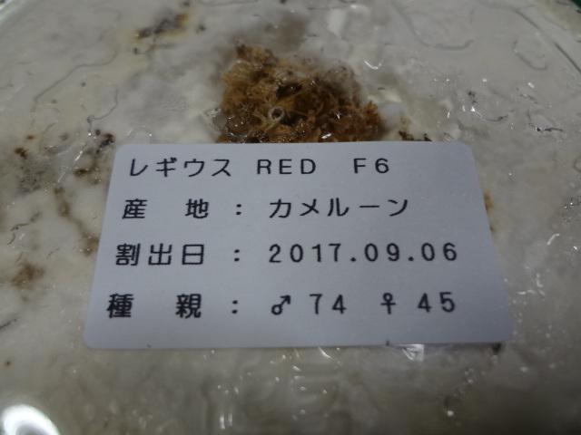 レギウスオオツヤクワガタ レッドボディ ( 赤レギ ) 初2令幼虫4頭_画像3