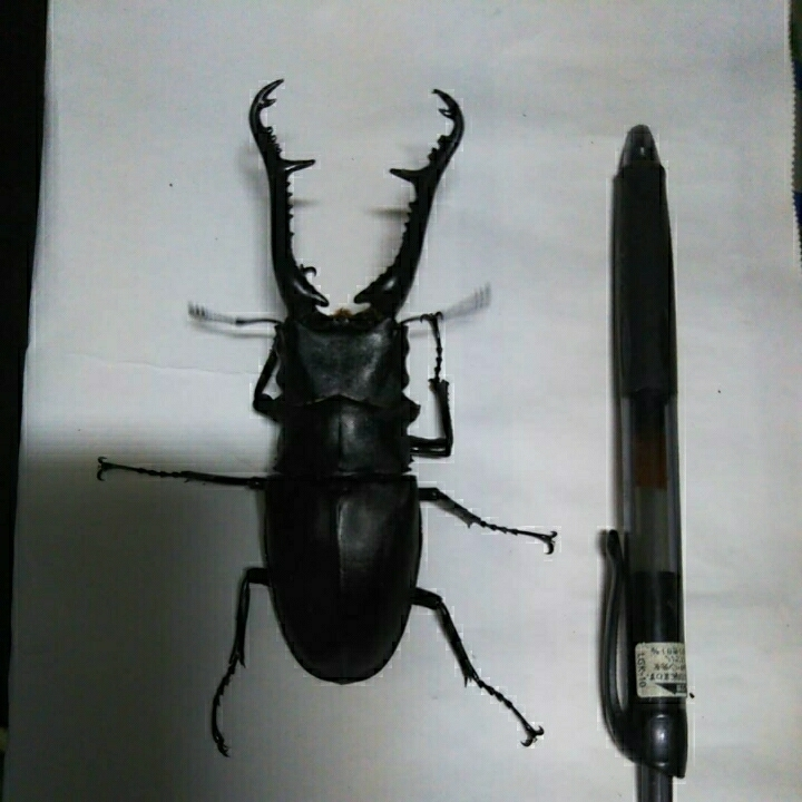ギラファノコギリクワガタ115㎜大型血統 幼虫5匹_画像2