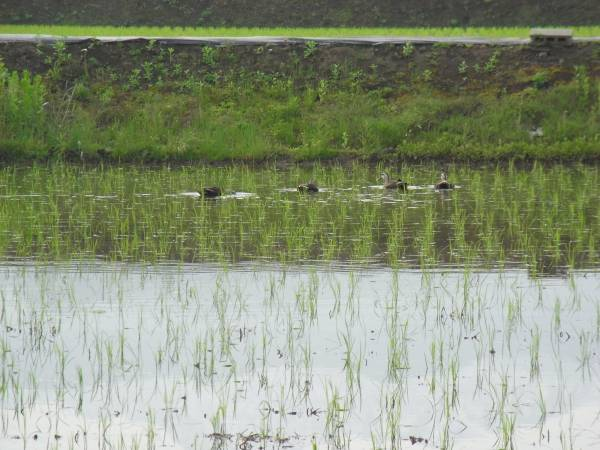 平成28年産 コシヒカリ:富山県魚津市産 無洗米10kg送料別_圃場にきた鴨です