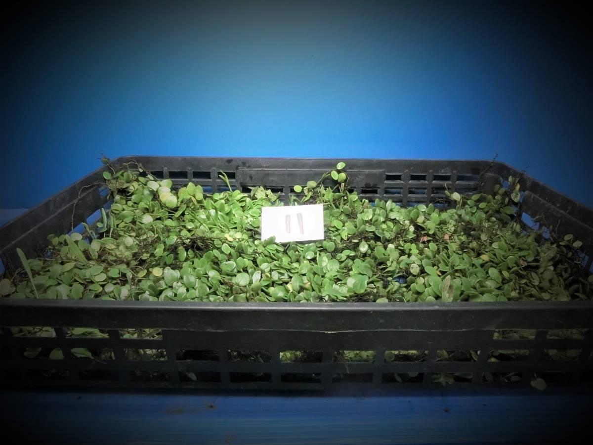 夢道園のマメシダ蔓(47㎝×30㎝トレイ)■山野草■盆栽■苔■-11_画像1