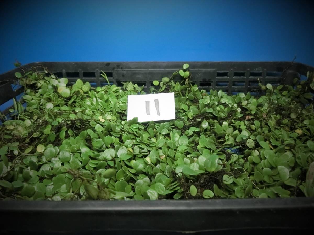 夢道園のマメシダ蔓(47㎝×30㎝トレイ)■山野草■盆栽■苔■-11_画像2